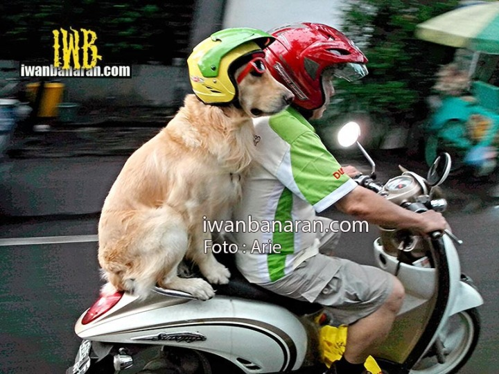 dog_helmet (2)